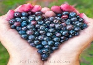 Ripe huckleberries in the shape of a heart in hands by The Healthy RD