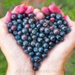 Huckleberry Benefits + Recipes and How to Pick