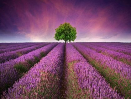 Lavender for Anxiety