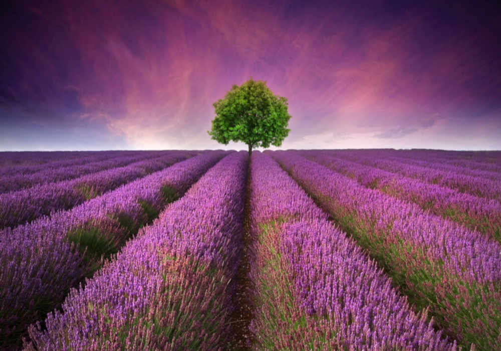 Beautiful lavender field with a single deciduous tree by The Healthy RD