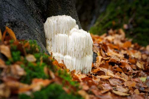 Lion's mane mushroom by The Healthy RD