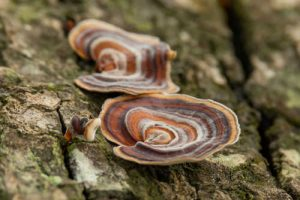 Turkey tail mushrooms growing on a tree by The Healthy RD