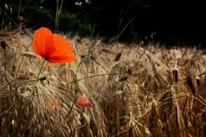 Field of ancient grains known as Kamut wheat with a poppy by the Healthy RD