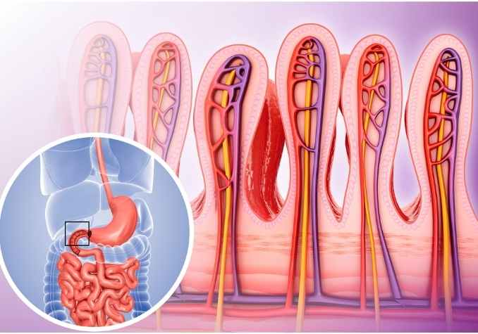 Image of epithelial cells and a graphic of small intestinal cells by The Healthy RD